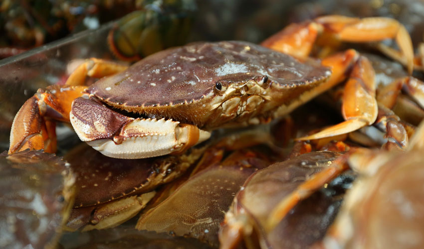 A photo of a dungeness crab