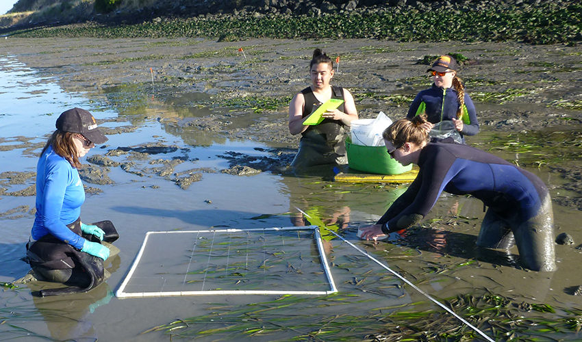 A photo of three SF State students and an SF State research technician measuring eelgrass in San Francisco Bay.