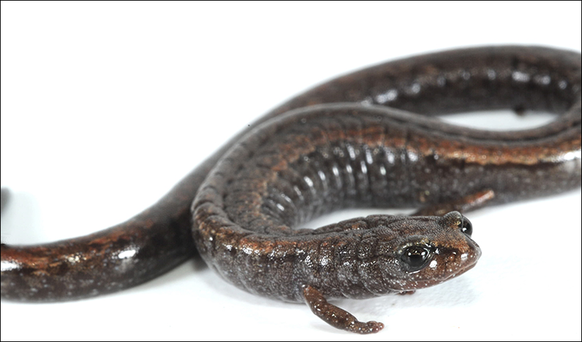 A photo of a California slender salamander
