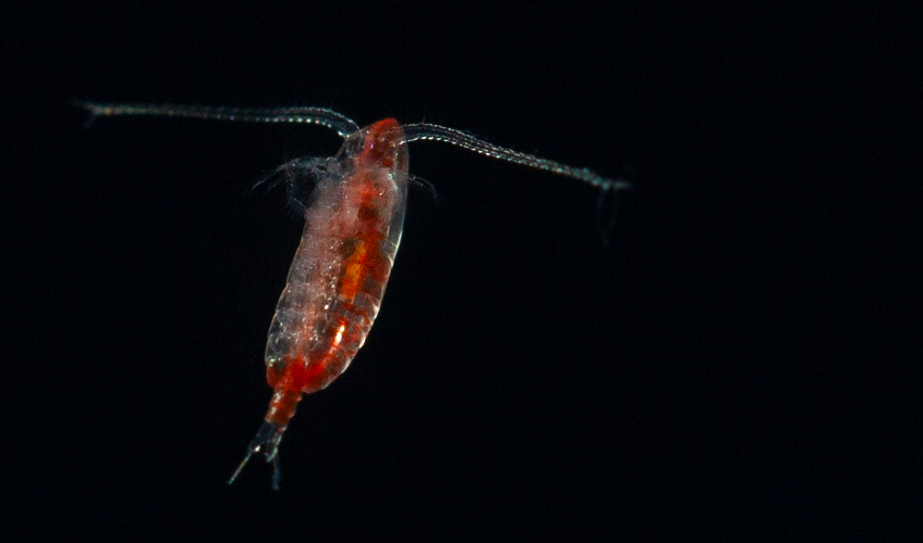 Microscope image of a small, red marine crustacean on a black background