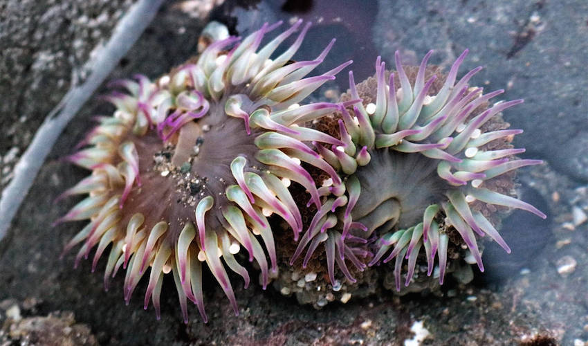 Underwater photograph of a purple and green anemone in sand