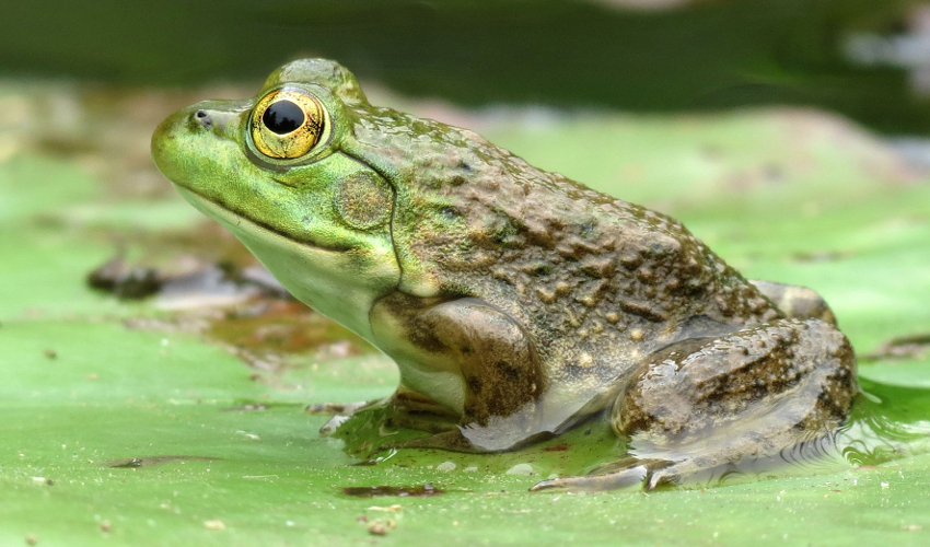 A green frog sits on a pond lilypad