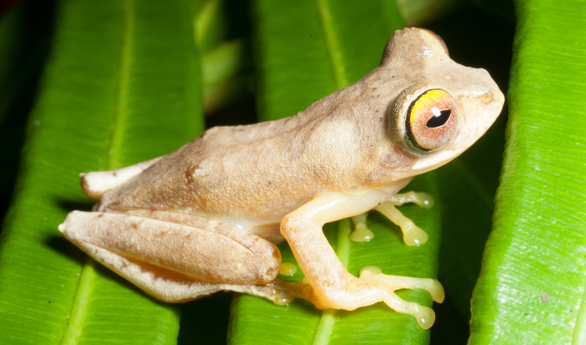 Pale brown frog sitting on a leaf