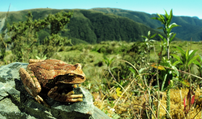 A brown frog sits on a rock with tree-covered mountains in the background