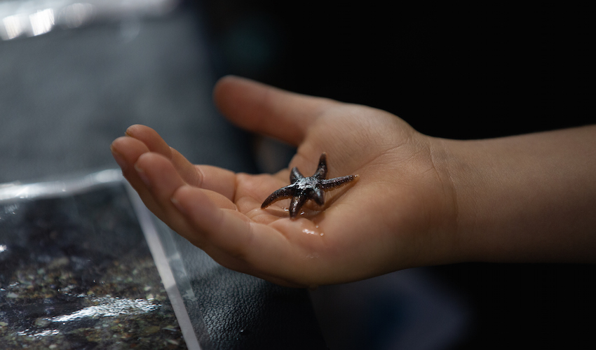 A hand holding a dark-colored six-rayed sea star.