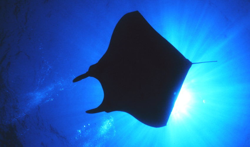 the silhouette of a manta ray from below, backlit by the sun