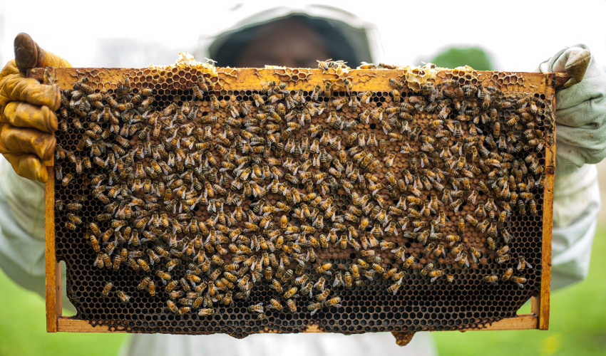 A large honeycomb covered in bees, held by a beekeeper whose face is blocked.