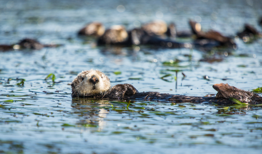 Otters float in water, surrounded by aquatic grasses