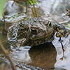 A photo of a frog in a pond
