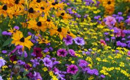 A field of yellow, purple and pink flowers