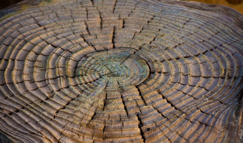 An aged tree stump with visible, raised rings