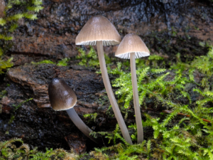 Photo of Mycena abramsii by B.A. Perry