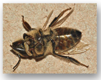 "Picture of fly pupae emerging from a ""zombee"" bee."