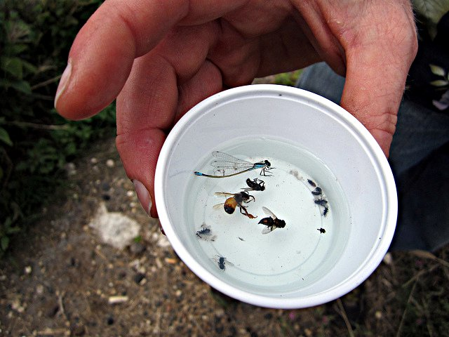 A photo of a researcher checking a pan trap to identify bee species.
