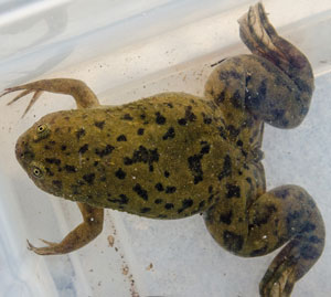 Photo of an African Clawed Frog
