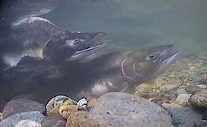 Photo of a male and female pink salmon.