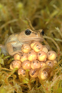 A photo of a female Brophryne cophites frog attending her eggs.