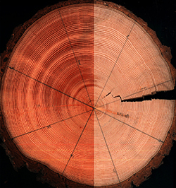 A photo of a cut tree trunk showing its tree rings.