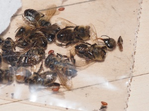 A photo of honey bees infected with parasitic phorid flies.