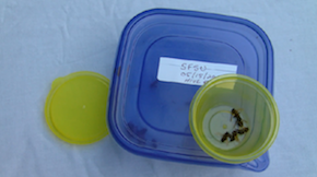 Photo of zombees, collected and stored by a volunteer zombee hunter.