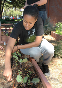 A photo of SF State student Adriana Ausin planting beans in the Mary Park Community Garden behind Mark Park Hall.