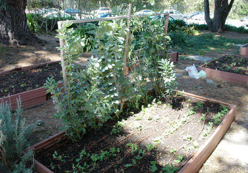 A photo of food growing in the Mark Park Community Garden behind Mark Park Hall at SF State.