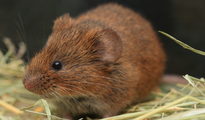 Brown, fluffy rodent